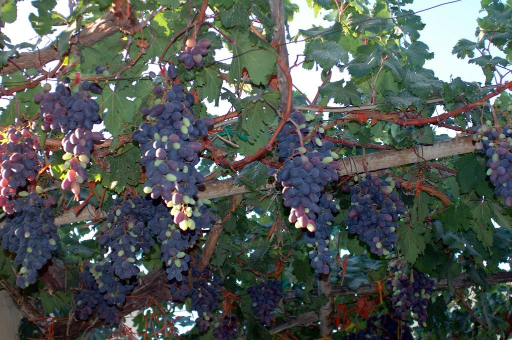 Crete Greece grapes