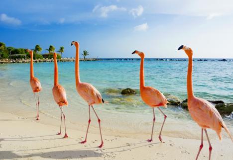 Private jet travel takes you to Aruba to see flamingos.