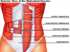 Anatomy of the abdominal wall