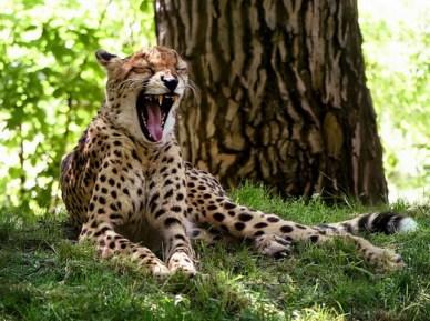 Bored Cheetah