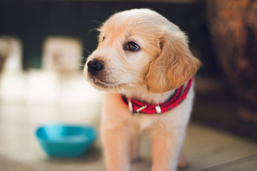 A cute blonde puppy with a red color. I want to say it's a labrador but I would hate to embarrass myself. Did Your Dog Choose You