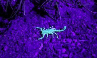 Bright Scorpion