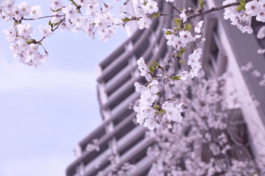 Japan tokyo palace hotel sakura