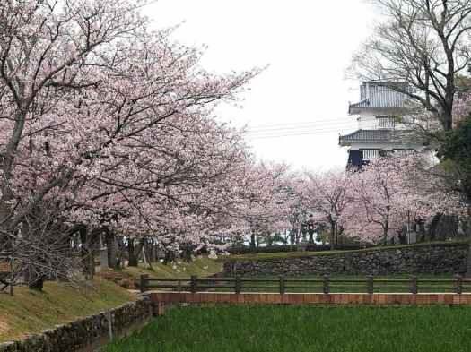 Japan-cherry-blossons-at-nagasaki-prefecture-credit-Tsunehisa-Kimura