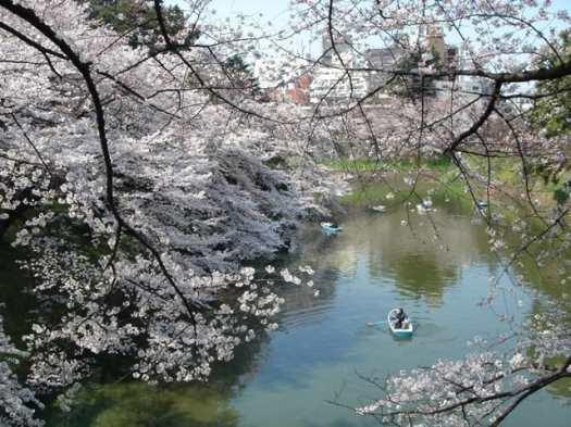Japan-CherryBlossoms@Kitanomaru-Park-Imperial-Palace-Tokyo