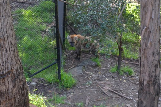 Usa-oakland-zoo-hyena-credit-oleg-alexandrov
