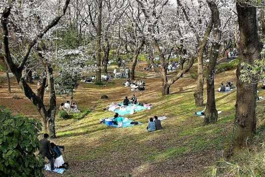 Japan-Yokohama-Cherry_blossomsin-Mitsuzawa-park-credit-Koumpsu