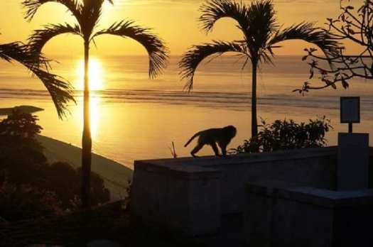 monkey-prowling-hotel-grounds-at-sunset-in-bali