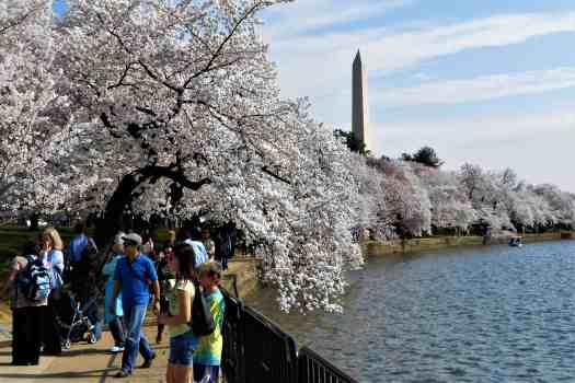 cherry-trees-lining-the-tidal-basin-with-the-washington-monument-in-the-background