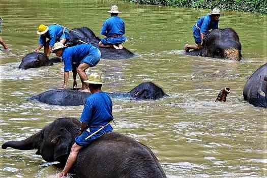 th-Mahouts_Bathing_Elephants_Thai_Elephant_Conservation_Center_Hang_Chat_Adam_Jones