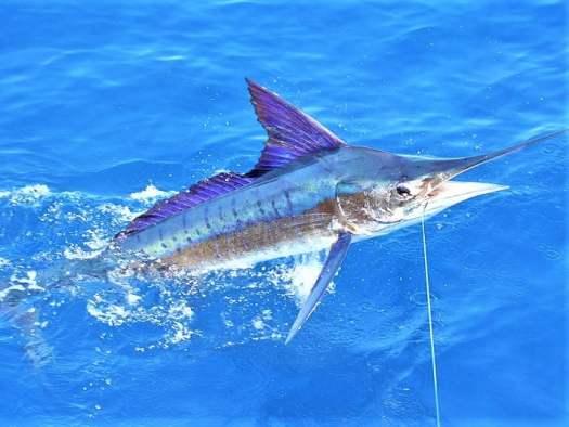 stripe-marlin