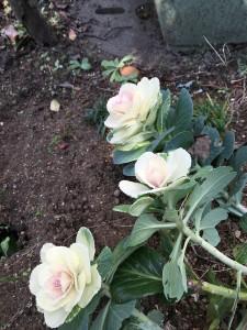 肥料も少なく寒さに耐え咲く花