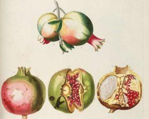 A Pomegranete