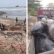 Hundreds Of Dolphins Washed Ashore At Lower Axim