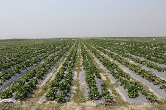 Strawberry Farm in Jos, Nigeria