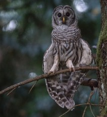 Honourable Mention - Nature Category: Matthew Breakey - Barred Owl chick