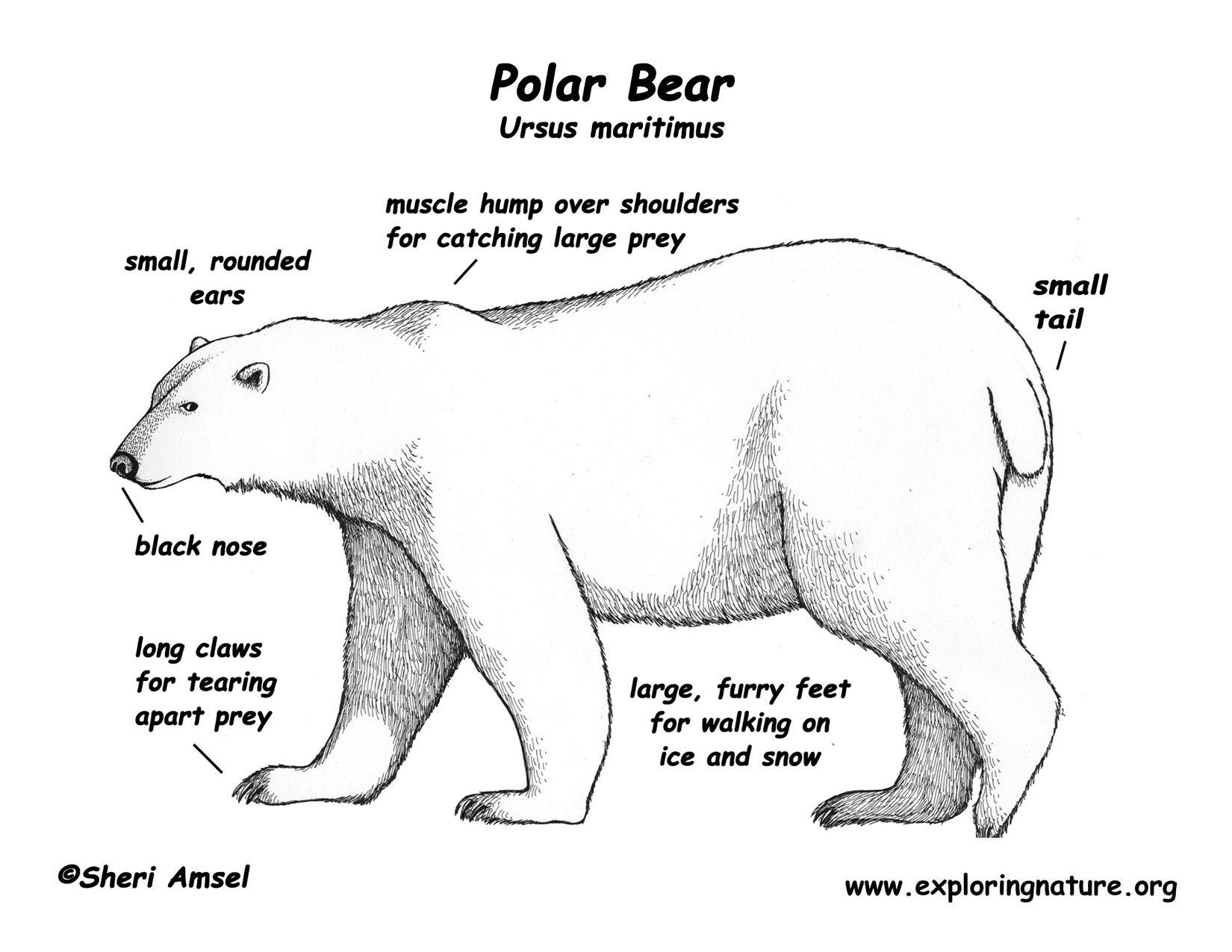 hight resolution of arctic acds students polar bear mouth diagram