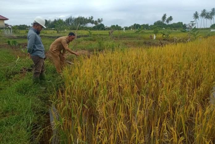 Video: Tanaman Padi Terendam Banjir Rob, Petani Terancam Gagal Panen