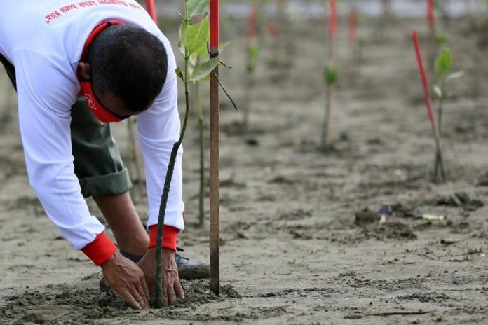Peringati Hari Mangrove Sedunia, 2.020 Batang Bakau Ditanam di Lamguron