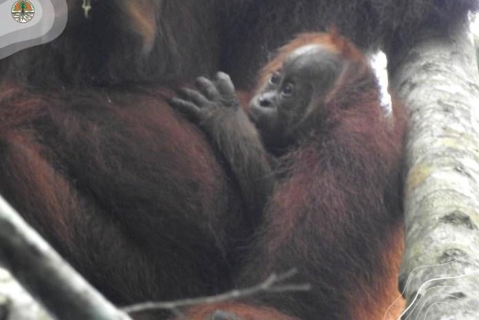 Edelweiss, Bayi Orangutan Ketiga yang Lahir di Pusat Reintroduksi Jantho