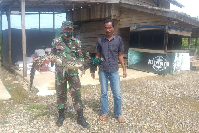 Warga Aceh Jaya Temukan Anak Buaya Tersangkut di Jaring Ikan