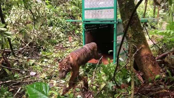 Malelang Jaya, Seekor Harimau Sumatera di Aceh Dilepas Kembali ke Habitatnya