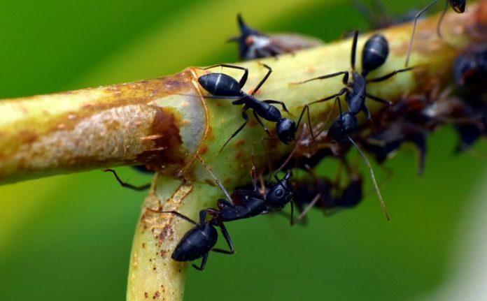 racun semut