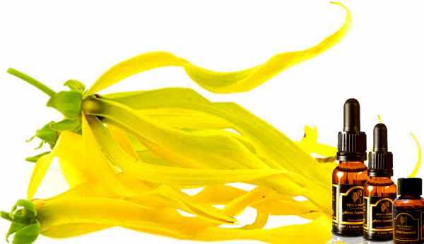 como usar el aceite de ylang ylang