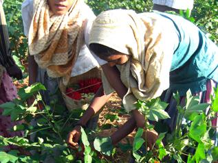 強い日差しの中、農薬まみれのコットン畑で作業する女の子