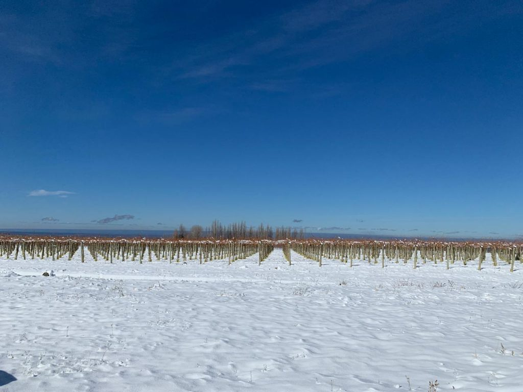 Nieve en los viñedos - Parral de torrontés - Gualtallary Alto - Tupungato (Foto: Belén Iacono)