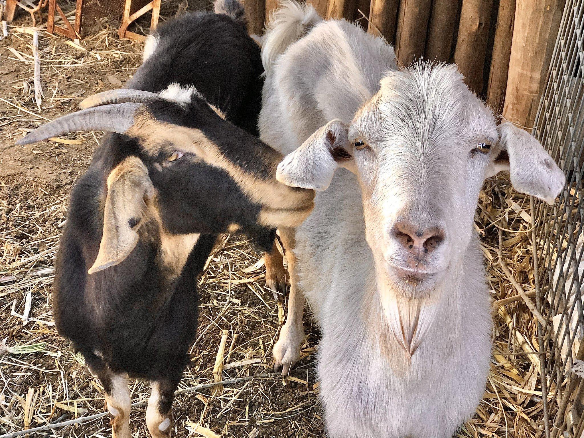 Chakana cabras