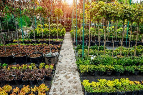Odwiedź sklep ogrodniczy i dowiedz się, jak dbać o monsterę