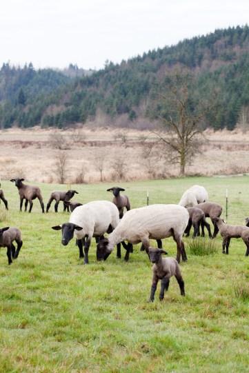 0063_lamb