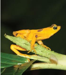 Panamanian_golden_frog