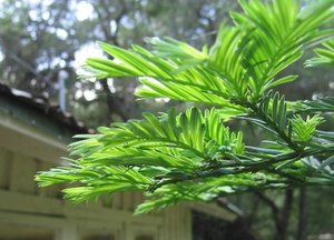 Spring_redwood