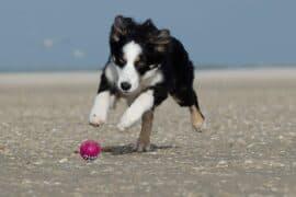 Border collie - Balle d'activation de saut pour chiens