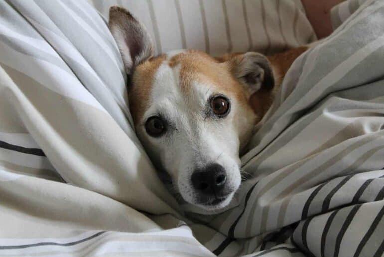 Jack Russell Terrier - Terrier