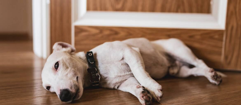 Jack Russell Terrier - Race de chien