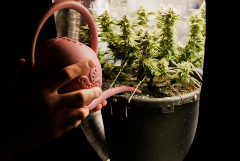 Chanvre - Culture du cannabis