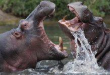 Hippopotamuses, Deadliest Animals