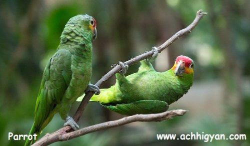 तोता के बारे में कुछ जानकारी - Information in Hindi About Parrot