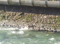 Capriolo intrappolato nel torrente Chiampo