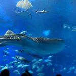 【沖縄旅行】2〜3日目 5年ぶりの美ら海水族館でジンベイザメに癒されましたー
