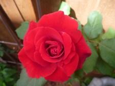 'Don Juan' rose