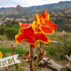 Flor de achira