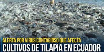 Alerta por virus contagioso que afecta a cultivos de tilapia en Ecuador y otros 4 países
