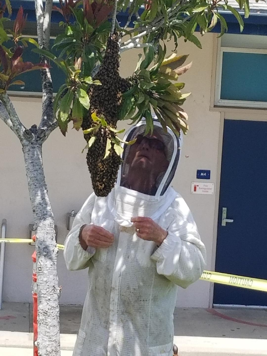 Bill Weinerth examines the bee hive prior to removing it from Cam High's campus.  Photo courtesy of Karen Chadwick