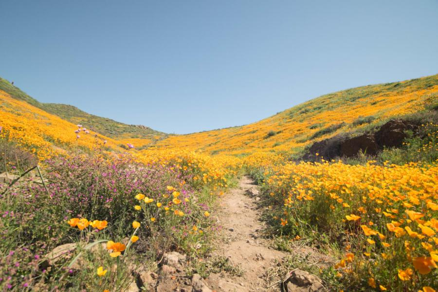The+2017+Super+Bloom+in+California+has+returned+in+places+like++Antelope+Valley+and+Walker+Canyon%2C+attracting+thousands+of+tourists.