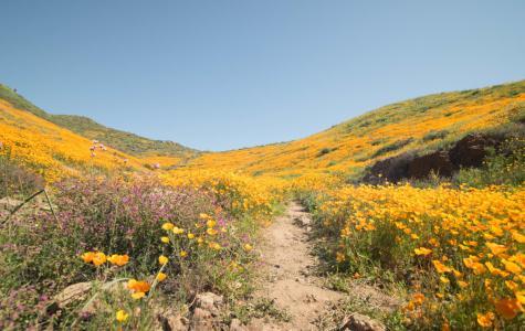 California's Super Bloom: Springing into the Season