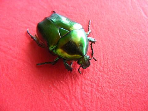 "A beetle, that topic of the Filipino folk song ""Sitsiritsit Alibangbang"""
